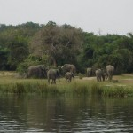 Murchison-Elephants
