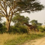Murchison Falls - northern side of Nile - giraffes