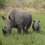 White rhinos (in rhino sanctuary)