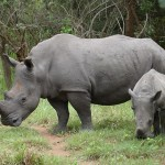 Black rhinos (in sanctuary)